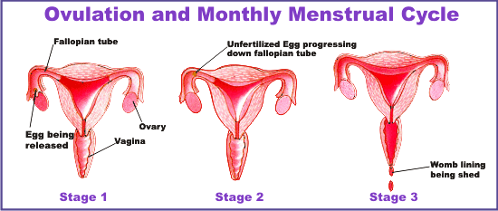 menstrual-cycle-and-pregnancy